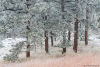 Flagstaff Mountain,Ponderosa Pines,Snow,November,OSMP,Open Space and Mountain Parks,Boulder,Colorado,Flagstaff Road,Frosted,Landscape,Photography,Front Range