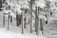 Flagstaff Mountain,OSMP,Open Space and Mountain Parks,Spruce,Fir,Winter,November,Boulder,Colorado,Landscape,Photography,Flagstaff Road,White,Snow,Pines,Trees