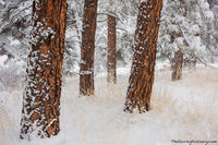 Ponderosa Pine,Flagstaff Mountain,Snow,December,OSMP,Open Space and Mountain Parks,Boulder,Colorado,Landscape,Photography,Flagstaff Road,Trailhead