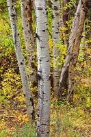 Boulder,Colorado,Open Space,Autumn,Aspens,trees