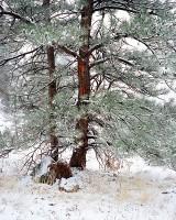 Colorado, Boulder, Flagstaff Mountain, Open Space, Ponderosa Pine, OSMP