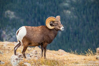 Big Horn Sheep,Ram,Forest Canyon,Timberline,Trail Ridge Road,Estes Park,Big Thomspon River,Wildlife,Photography,Colorado,RMNP,Rocky Mountain National Park,October