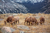 Forest Canyon,Hayden Gorge,RMNP,Colorado,Big Horn Sheep,Rams,Bachelor Group,Timberline,Rocky Mountain National Park,Wildlife,Photography,Landscape,October,fall,autumn,Estes Park,Trail Ridge Road