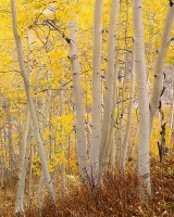 Crested Butte, Gothic Road, Aspens, Fall, Kebler Pass, Gunnison