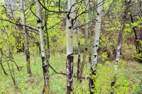 Boulder, Colorado, Aspen, Trees, Spring, Open Space, OSMP