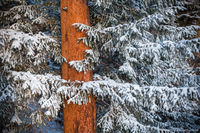 October,Spruce,Hondius Park,Horseshoe Park,Fall River,Estes Park,Snow,Pines,RMNP,Colorado,Rocky Mountain National Park,Landscape,Photography