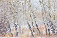 Colorado,Rocky Mountain National Park,Horseshoe Park,Aspens,Winter,Snow,willows