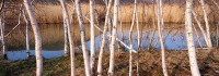 Iona Island, Bear Mountain, Hudson River, New York, Birch Trees