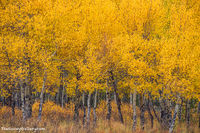 Rocky Mountain National Park,Colorado,Aspens,Kawuneeche Valley,West Side,RMNP,Grand Lake,Trail Ridge Road,Fall,Autumn,Landscape,Photogrpahy