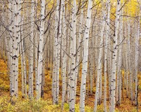 Fall, Aspens, Kebler Pass, Crested Butte, Colorado