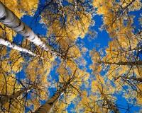Aspens, Crested Butte, Fall Color, Kebler Pass, Aspen Grove