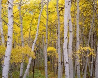 Crested Butte, Fall Color, Aspens, Kebler Pass, Mountains, Gunnison