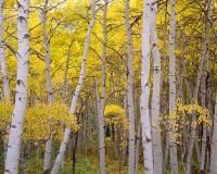 Crested Butte, Fall Color, Aspens, Kebler Pass, Mountains, Gunnison