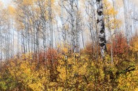 Crested Butte, Fall Color, Aspen, West Elk Mountains, Colorado, Kebler Pass, Scrub Oak
