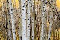 Crested Butte, Colorado, Aspens, Fall Color, Kebler Pass