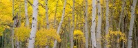 Kebler Pass, Fall Color, Panoramic, Aspens, Crested Butte, Forest