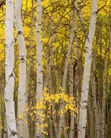 Kebler Pass, Crested Butte, Colorado, Fall, Aspen