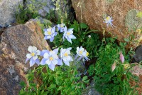Rocky Mountain National Park, Colorado, Columbines, Marigold Ponds, Summer