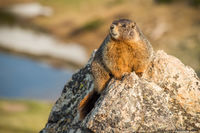 Marmot,Yellow-bellied,marmot point,Trail Ridge Road,Fall River Road,Alpine Visitor Center,RMNP,Colorado,Timberline,Squirrel,Rocky Mountain National Park,Estes Park,Wildlife,Photography,June