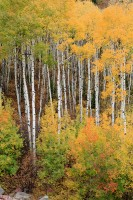 McClure Pass, Aspens, Fall Color, Colorado, Marble