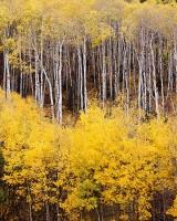 Colorado, McClure Pass, Fall Color, Aspens, Marble