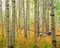 Colorado, McClure Pass, Aspens, Marble