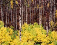 Colorado, Aspens, Fall, McClure Pass