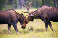 Moose,Big Meadows,Mating,West Side,Grand Lake,Kawuneeche Valley,Wildlife,Photography,Colorado,Rocky Mountain National Park,RMNP