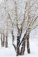 Moraine Park,Rocky Mountain National Park,Aspens,Elk,Colorado,Winter,Snow,Tree