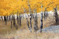 Rocky Mountain National Park, Colorado, Moraine Park, Aspens, Autumn, Elk