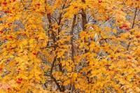 Boulder, Colorado, Gregory Canyon, Mountain Ash, Fall, Autumn, Open Space, OSMP
