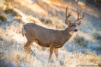 October,Mule Deer,Buck,Fall,Autumn,Moraine Park,Estes Park,RMNP,Wildlife,Photography,Colorado,Rocky Mountain National Park,Bear Lake Road