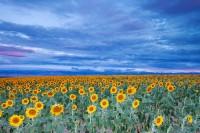 Colorado, Sunflowers, Longmont, Front Range