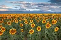 Sunflowers, Colorado, Longmont, Front Range