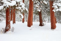 Rocky Mountain National Park, Colorado, Horseshoe Park, Ponderosa Pines, Snow, Winter