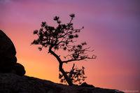 Moraine Park,Ponderosa Pine,Tree,Sunrise,Estes Park,Rocky Mountain National Park,Colorado,RMNP,Landscape,Photography