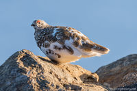 White Tailed Ptarmigan,Timberline,Molting,Wildlife,Medicine Bow Curve,Trail Ridge Road,Grand Lake,Estes Park,Photography,Colorado,Avian,Birds,Rocky Mountain National Park,June,tundra,Alpine