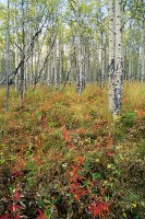 Routt National Forest, Toponas, Aspens, Fall, Colorado
