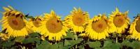Sunflowers, Colorado, Boulder, High Plains, Landscape