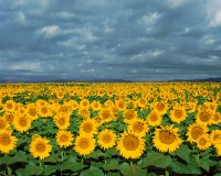 Sunflowers, Front Range, Boulder, Colorado, Open Space, Indian Peaks