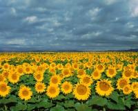 Sunflowers, Front Range, Boulder, Colorado, Open Space, Indian Peaks