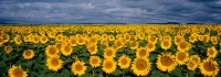 Sunflowers, Front Range, Boulder, large format, Panoramic