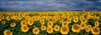 Sunflowers, Front Range, Boulder, large format, Panoramic