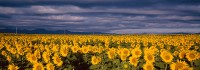 Sunflowers, Flatirons, Front Range, Boulder, Panoramic