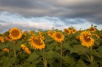 Sunflowers, Colorado, Weld County, Fields