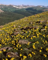 Alpine Sunflowers, Trail Ridge Road, Estes Park, Rocky Mountain National Park, Never Summer Mountain