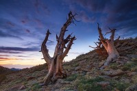 Trail Ridge,Krummholz,trees,Rocky,Rocky Mountain National Park,Colorado,windswept,sunrise