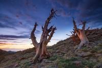 Trail Ridge,Krummholz,trees,Rocky,Rocky Mountain National Park,Colorado,windswept,sunrise