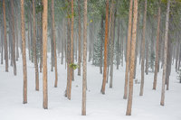 Twin Sisters,Lodgepole,White,Pines,Snow,Winter,February,Trees,Landscape,Photography,RMNP,Estes Park,Rocky Mountain National Park,Colorado,February