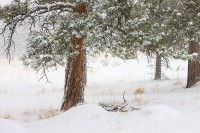 Walker Ranch,Snow,Ponderosa,Open Space,Boulder,Colorado